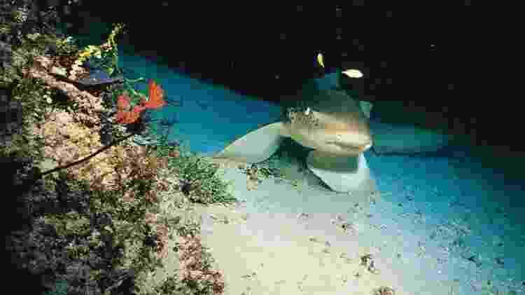 A redução no número de tubarões está afetando a saúde dos recifes de coral - Getty Images - Getty Images