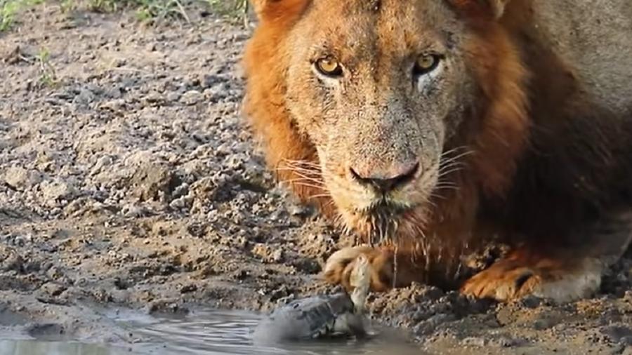 Tartaruga enfrenta leões na África do Sul - Reprodução/YouTube