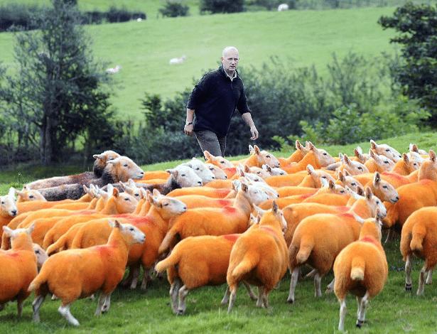 Até que ficaram bonitinhas as ovelhas pintadas de laranja... A tinta não faz mal ao animal