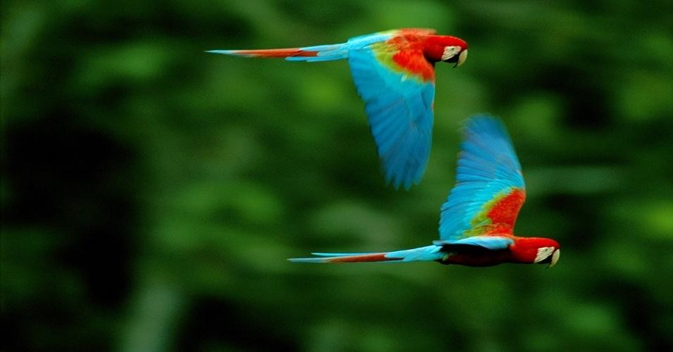 Araras-vermelhas sobrevoam Parque Nacional de Madidi, na Bolívia. Localizado na bacia do rio Amazonas, a reserva é um maravilhoso paraíso com mais 1.600 km² de vida selvagem, e mais de 1.000 espécies de aves