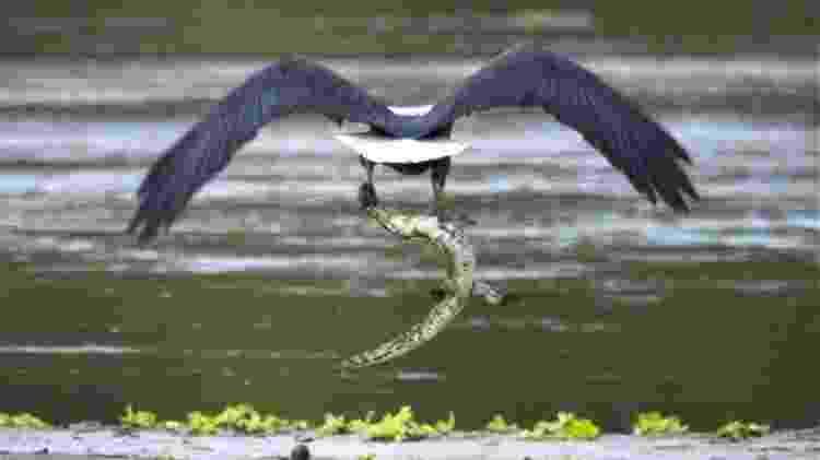 Filhote de crocodilo virou almoço de uma águia pescadora - Mark Sheridan-Johnson  - Mark Sheridan-Johnson