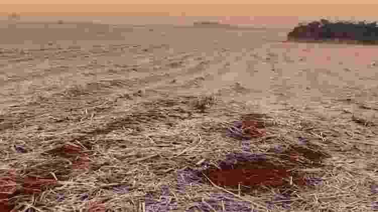 Canas recém-brotadas, pós-colheita, foram afetadas pela geada também - Cesar Mikishi Uemura/Divulgação - Cesar Mikishi Uemura/Divulgação