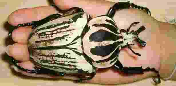 Besouro Golias - Reprodução - Reprodução