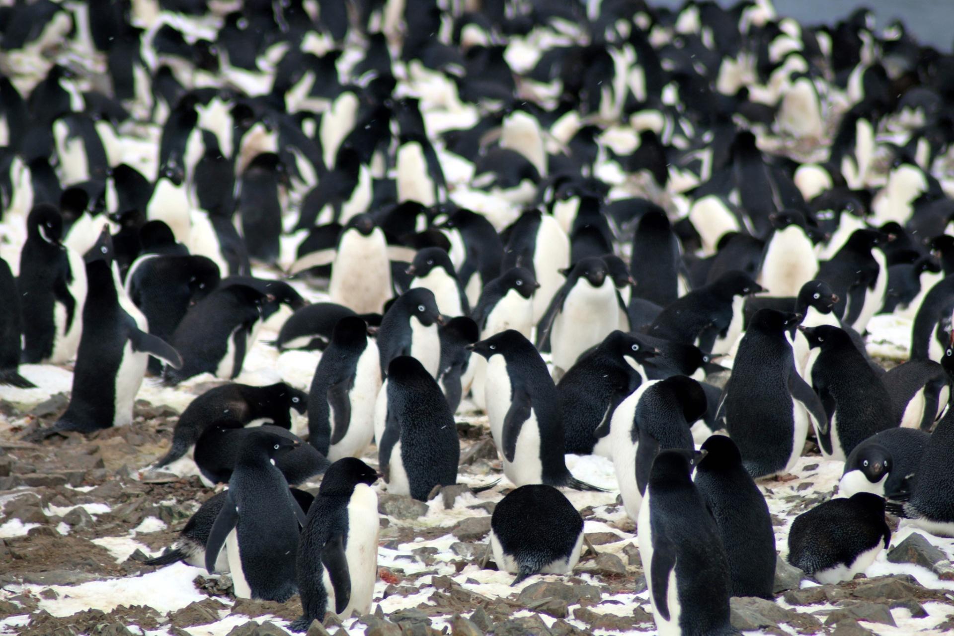 2.mar.2018 - Cientistas descobriram mais de 1,5 milhão de pinguins-de-Adélia (Pygoscelis adeliae) em um arquipélago remoto da Antártida