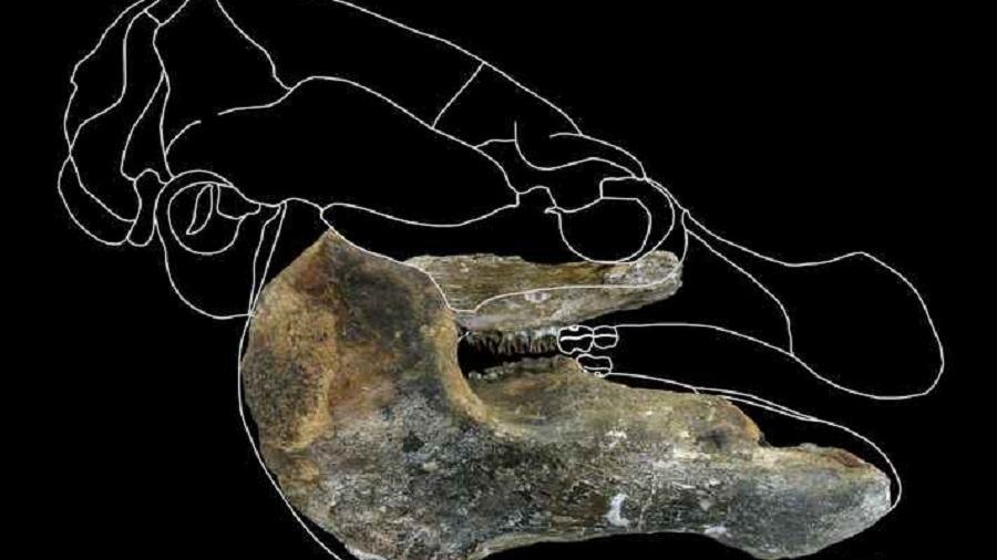 O nome científico dado à espécie descoberta foi Trichechus hesperamazonicus - Reprodução/UFMG