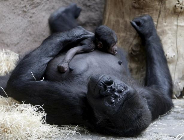 24.abr.2016 - Shinda, uma gorila ocidental, segura bebê recém-nascido em seu espaço no zoológico de Praga, República Tcheca