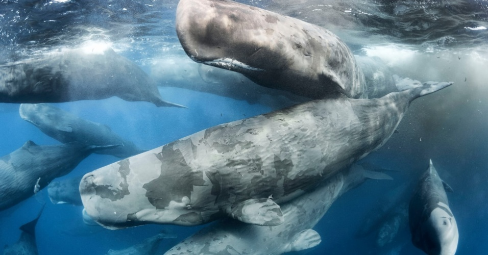 """A foto batizada de """"Encontro Gigante"""" rendeu o prêmio ao americano Tony Wu na categoria Comportamento: Mamíferos. O fotógrafo é especialista em baleias cachalotes. Esse enorme e raro encontro foi fotografado no litoral nordeste do Sri Lanka. Os cachalotes tiveram dois terços de sua população dizimada no auge da caça contra esse animal no século 20. Em 1986, a pesca dessa espécie foi proibida."""