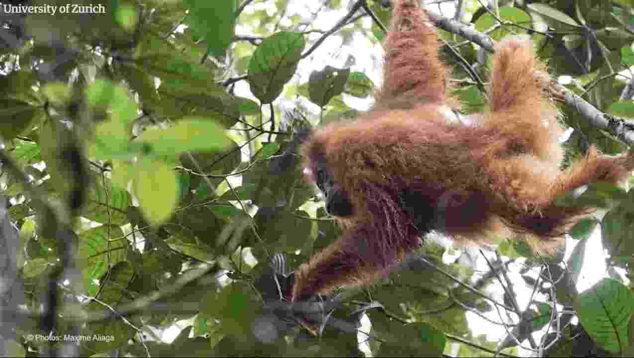 A nova espécie foi descoberta ao norte de Sumatra, na Indonésia - Universidade de Zurick