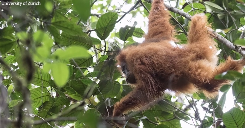 A nova espécie foi descoberta ao norte de Sumatra, na Indonésia