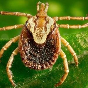 Febre maculosa é causada por bactéria transmitida pela picada de carrapato-estrela - CDC/Reprodução