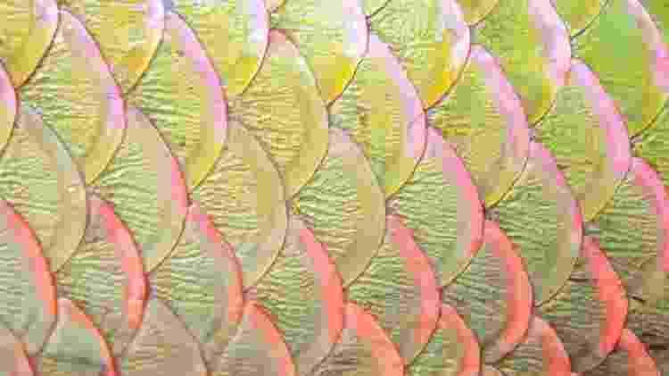 Resistência e maleabilidade: combinação faz das escamas do pirarucu um material 'excepcional' de acordo com pesquisadores - Getty Images via BBC