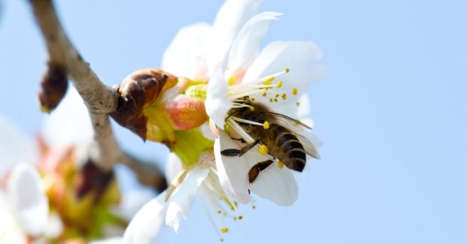 6.mar.2016 - Abelha recolhe o mel em uma flor no jardim botânico de Shanghai Jiao Tong University, na cidade de Xangai, na China