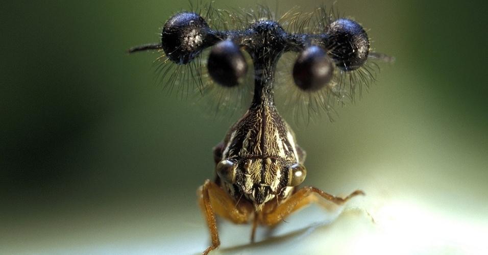 Membracídeo brasileiro (Bocydium globulare) - Também conhecido como soldadinho ou viuvinha, esse inseto parece mais um monstrinho do Pokémon. Os diversos olhos pendurados em galhos sobre a cabeça do membracídeo brasileiro formam, na verdade, um bizarro capacete. Ele é membro da família dos membracídeos (Membracidae), parentes das cigarras e cigarrinhas. Na natureza, seu capacete pode ser confundido com espinhos, servindo para camuflagem. Ele vive em florestas e se alimenta de pólen