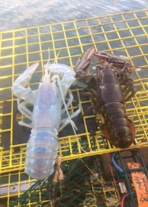 Raridade, lagosta branca foi devolvida ao mar por ser fêmea e carregar ovos