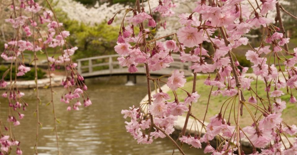 Desabrochar na primavera. Um jardim em Rhode Island, EUA, foi feito em estilo japonês, com cerejeiras floridas e passarelas