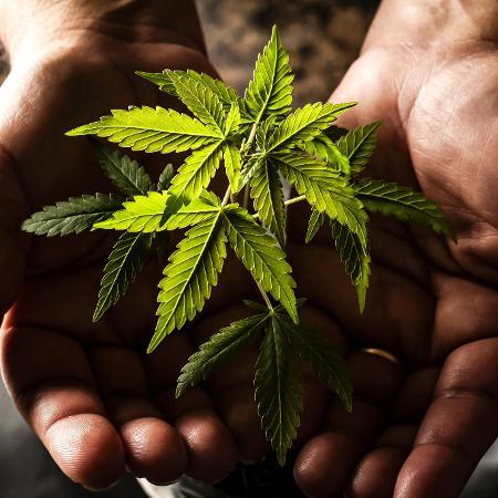 Cânhamo, um composto da cannabis, é usado em máscara contra a covid-19 - Fernando Moraes/UOL