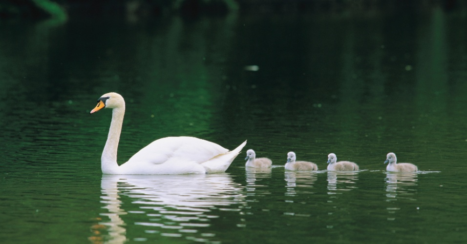 27.jul.2016 - Siga o líder! Um cisne mãe e seus filhotes. Cisnes jovens já nascem cobertos com penas e podem nadar por horas