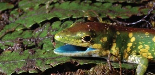 Os lagartos da espécie Prasinohaema têm o sangue verde e, por conta do pigmento biliverdina, sua língua é azul
