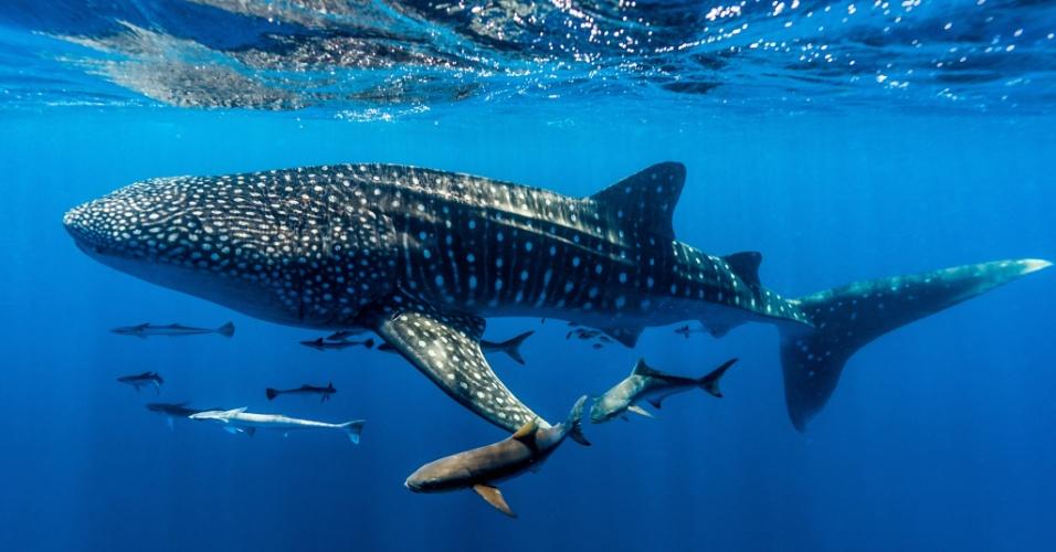 5.out.2016 - Um cardume segue um tubarão-baleia no mar da costa australiana. Os tubarões-baleias não são baleias de verdade. Contudo, pertencem a maior espécie de peixe do oceano, chegando a 12 metros de comprimento