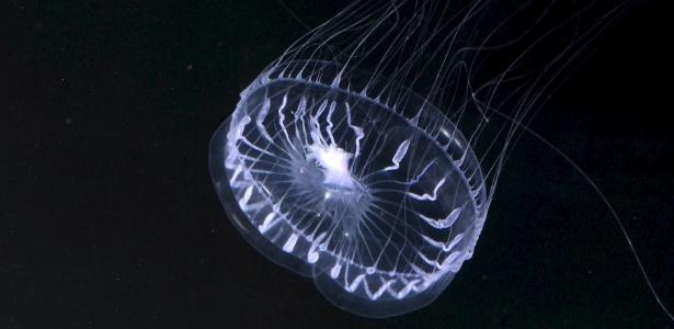Águas vivas estão entre os animais mais bioluminescentes