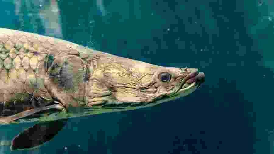 O pirarucu é um dos maiores peixes de água doce do mundo e agora outra propriedade sua é destrinchada: a resistência de suas escamas - Getty Images via BBC