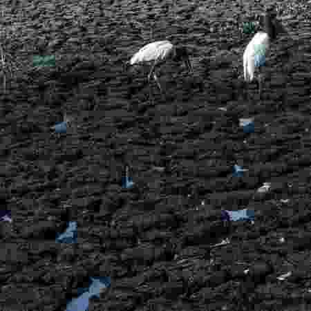 Tuiuiús (ou jaburus) buscam alimentos em trecho que secou em meio à crise hídrica do Pantanal - AHMAD JARRAH - AHMAD JARRAH