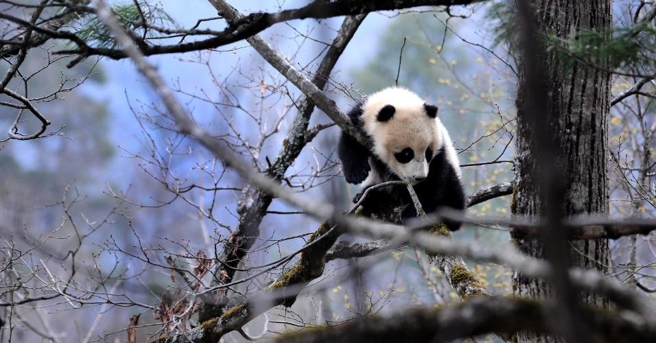 29.mar.2016 - Panda da subespécie Qinling escala árvore em aldeia na província de Shaanxi, no noroeste da China. Atualmente, existem apenas cerca de 345 pandas dessa subespécie de panda gigante vivendo em seu habitat natural