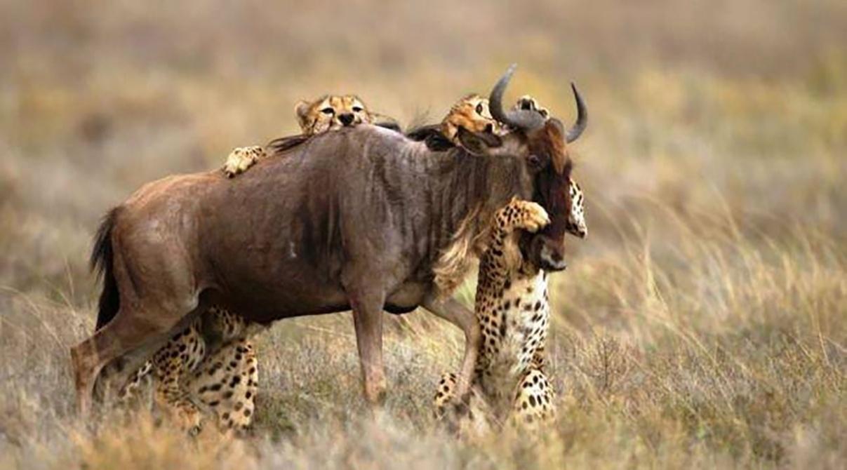 1º.ago.2016 - Guepardos atacam um gnu solitário na reserva Masai Mara, no Quênia