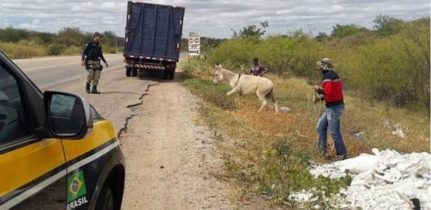 Símbolo da região, jumento foi sendo abandonado no Nordeste e passou a circular solto em rodovias