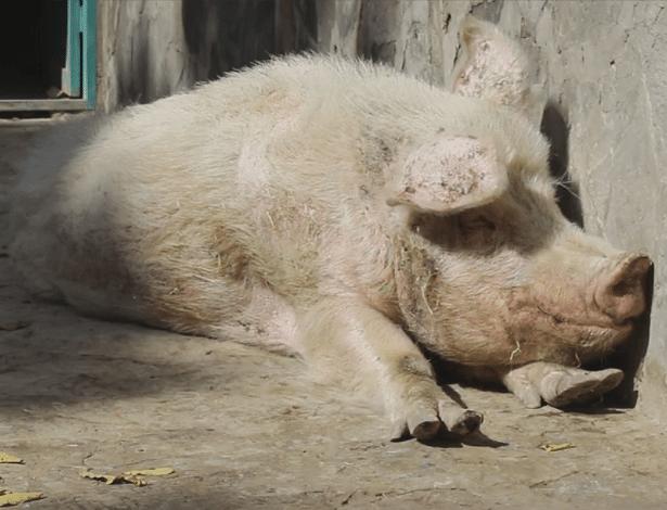 Comer e criar porcos é proibido pela lei islâmica, mas até que Khanzir leva uma boa vida!