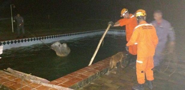 Boi cai em piscina e é resgatado por bombeiros em Juiz de Fora (MG)