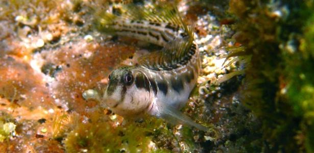 """Na Oceania, peixes desenvolvem """"patas"""" e podem viver fora d'água"""