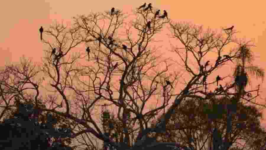 Pantanal concentra maior população de araras azuis do mundo - Edson Diniz via BBC