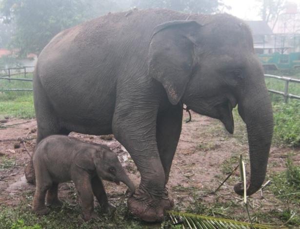 NA PONTA DOS PÉS - Muitos elefantes que vivem em cativeiro desenvolvem um problema nas patas e passam a caminhar de forma incomum. Com o tempo, a forma de caminhar pode desencadear doenças que levam o animal à morte. Segundo uma pesquisa desenvolvida por Olga Panagiotopoulou, da Universidade de Queensland, na Austrália, os animais colocam a maior pressão sobre os dedos de fora de suas patas dianteiras e menos pressão sobre os calcanhares. Zoológicos e áreas de preservação tem superfícies mais duras do que as florestas, o que leva os animais a andar na ponta dos dedos e desenvolverem câimbras. Os pesquisadores vão utilizar os resultados para tratar as patas dos elefantes