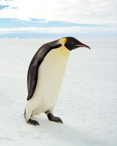 IMPERADORES - Os pinguins-imperadores são a maior das 18 espécies de pinguins existentes. É também uma das maiores aves, com cerca de 1,20 m de altura 40 kg, em média. A população de pinguins-imperadores na Antártida é de aproximadamente 595 mil pinguins
