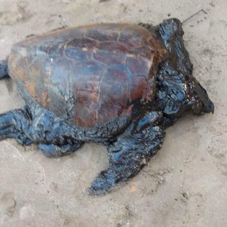 Tartaruga encontrada em Maragogi estava viva com a cabeça completamente coberta e o óleo obstruindo narina, olhos e boca - Instituto Biota/Divulgação
