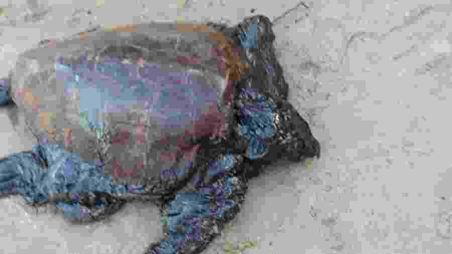 19.out.2019 - Tartaruga encontrada em Maragogi, Alagoas, estava viva com a cabeça completamente coberta e o óleo obstruindo narina, olhos e boca - Instituto Biota/Divulgação