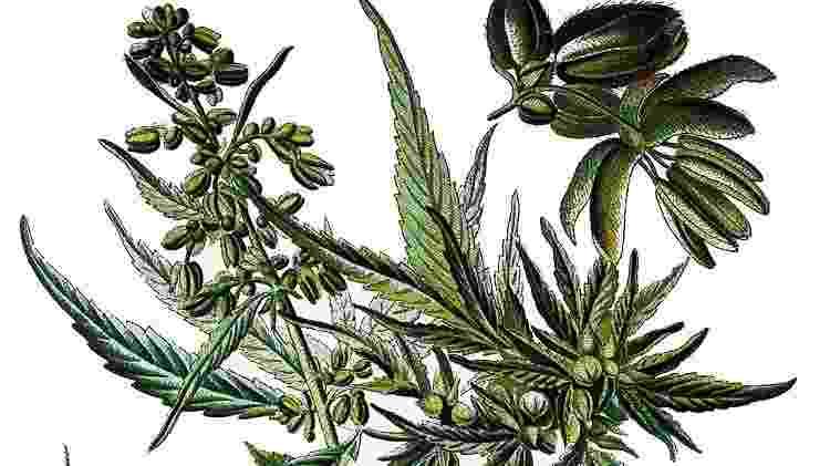 Uma planta com múltiplos usos e uma longa história - Getty