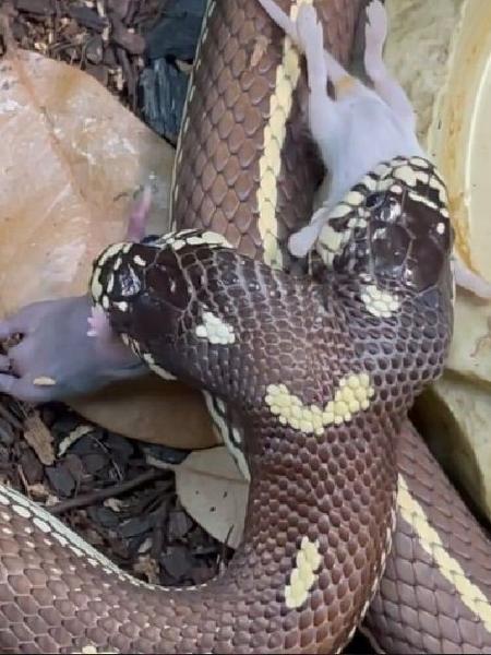 Cobra de duas cabeças é vista engolindo dois ratos ao mesmo tempo nos EUA - Reprodução