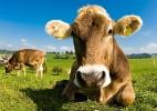 Empresas buscam 'carne verde', para não maltratar boi nem desmatar Amazônia (Foto: Shutterstock)