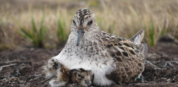 Quanto mais utilizam a camuflagem, mais pássaros permanecem em seus ninhos