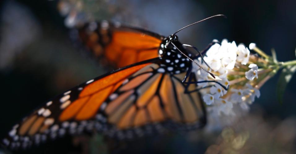17.nov.2016 - Borboleta monarca pousa em uma flor em Dallas, no Texas (USA)