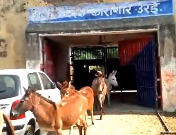 Os burros passaram quatro dias na cadeia - Reprodução/CEN