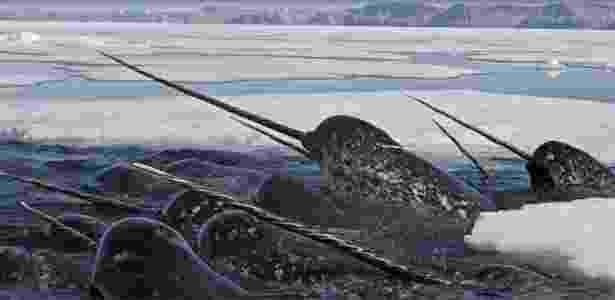 Baleia com dentes afiadíssimos? Sim existe. A Narval é uma das duas espécies vivas de baleias da família Monodontidae, junto com a baleia beluga. A baleia dentada é encontrada principalmente no ártico canadense e nas águas da Groelândia - WWF/Divulgação - WWF/Divulgação