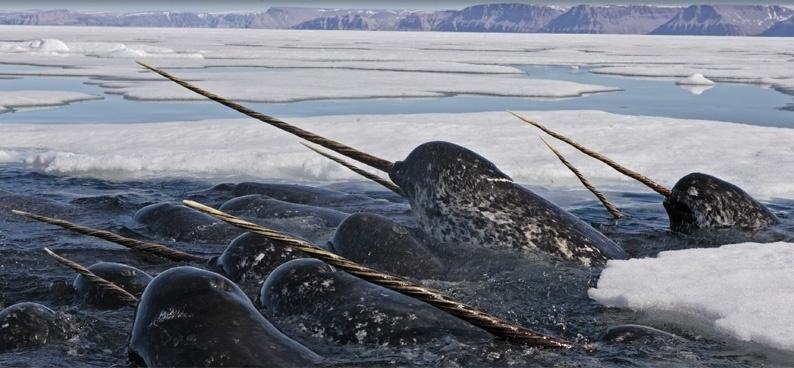 Baleia com dentes afiadíssimos? Sim existe. A Narval é uma das duas espécies vivas de baleias da família Monodontidae, junto com a baleia beluga. A baleia dentada é encontrada principalmente no ártico canadense e nas águas da Groelândia