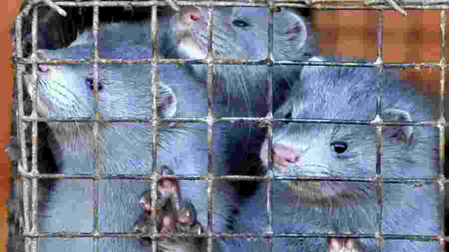 Visons são criados em fazendas devido ao valor de seus pelos - Getty Images via BBC