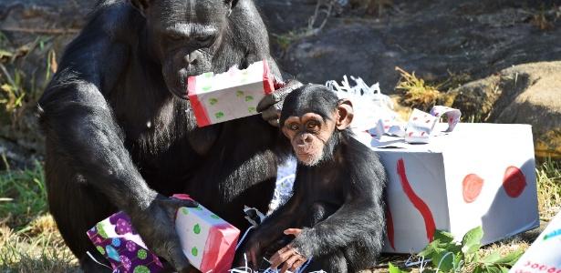 Chimpanzés têm mais confiança em animais amigos ou próximos