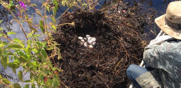 be07c625093 Coleta de ovos é realizada por ribeirinhos uma vez por ano e é monitorada  por GPS Imagem  Divulgação