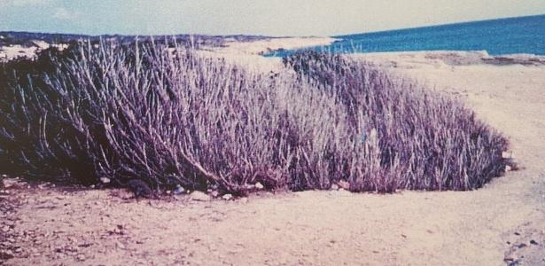 Arbusto encontrado na praia de Episkopi - Cortesia Xenophon Kallis