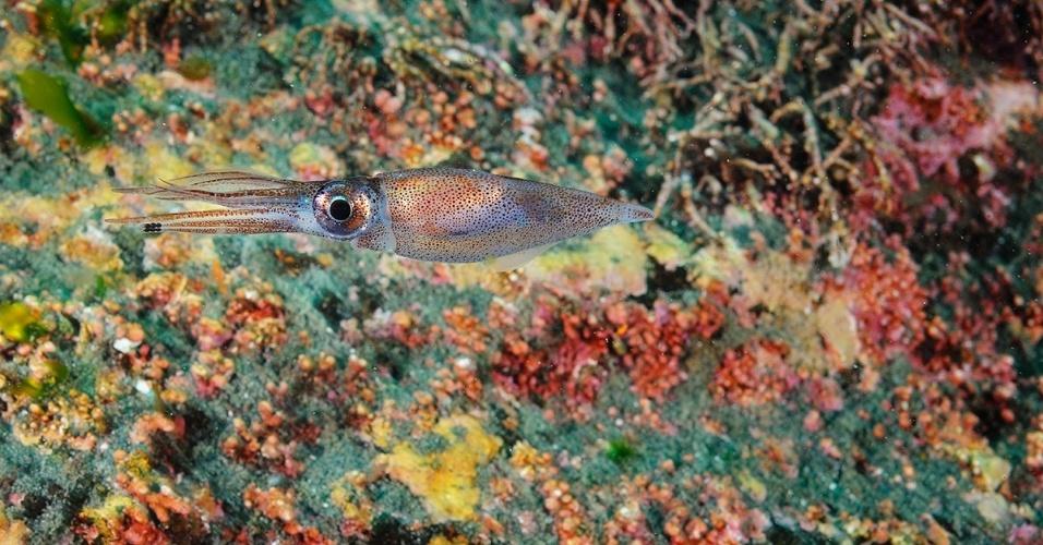 21.dez.2015 - Uma lula na península de Shiretoko, Japão. A área é Patrimônio Mundial da Unesco desde 2005, o que ajudou a proteger da extinção algumas espécies marinhas e terrestres